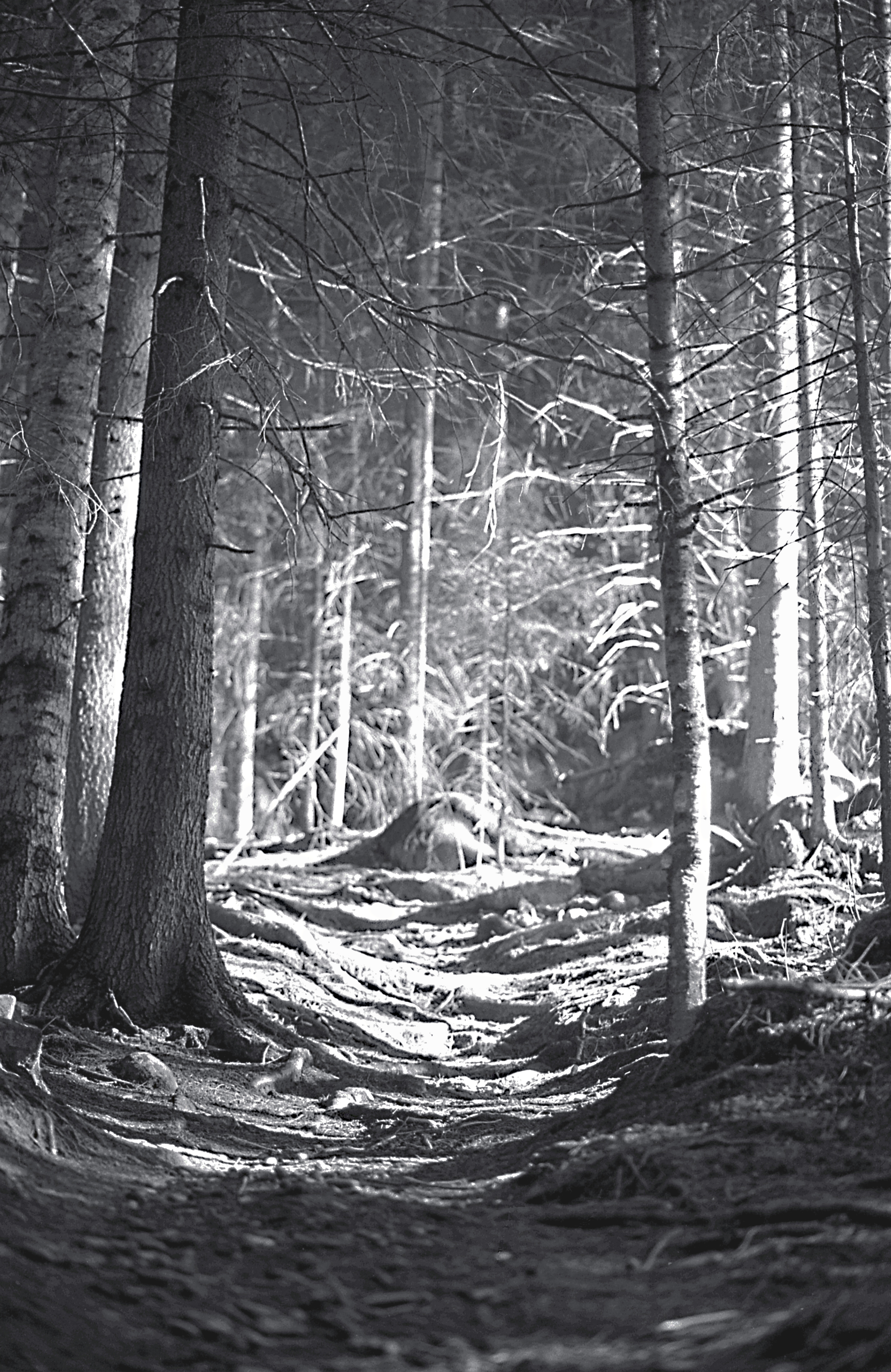 Forest in Dolomiti Mountains Italy (2)
